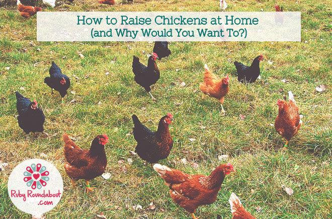 how to raise chickens at home and why would you want to
